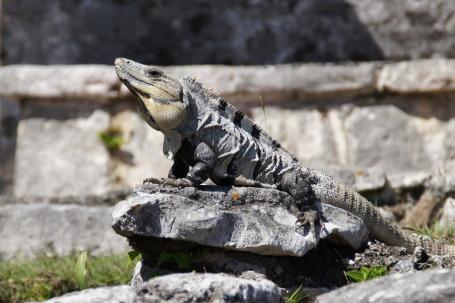 Iguana in Riviera Maya