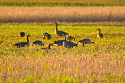 Study what the geese are doing while you scout so you can set your decoys up in a similar fashion