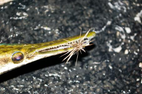 Dry Fly Shortnose Gar