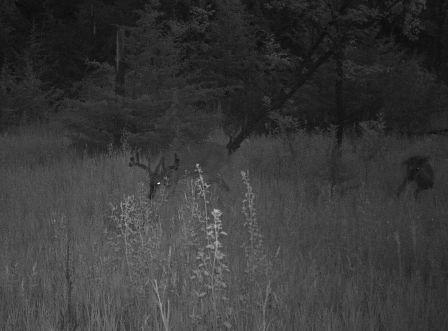Here, the same buck from 2010 shows some new growth (photo taken in June).