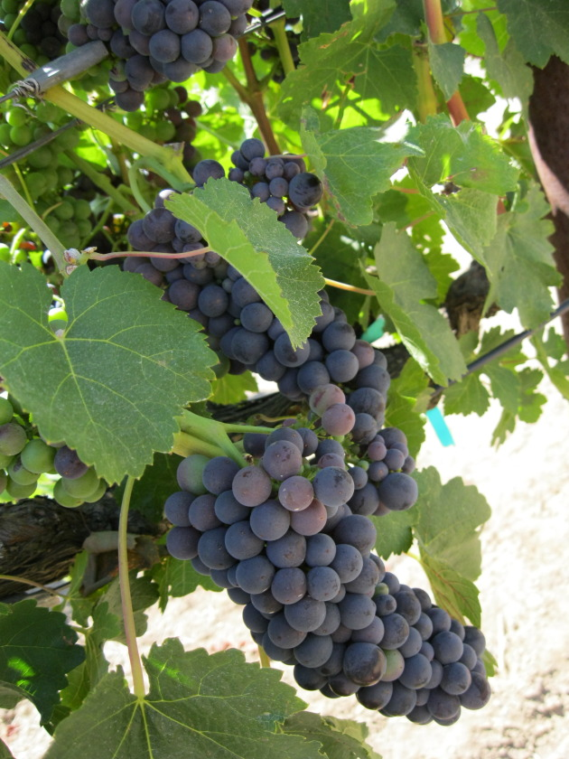 Beautiful Petite Sirah grapes at Foppiano ... 