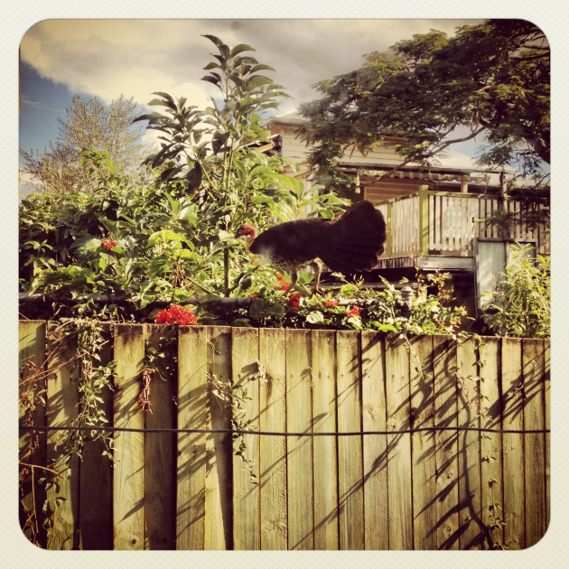 My bush turkey - I am still trying to think of a name for him.