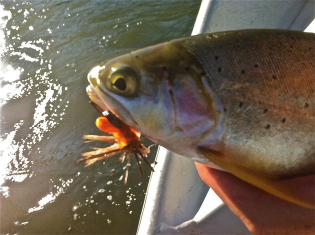 Salmonflies create crazy trout