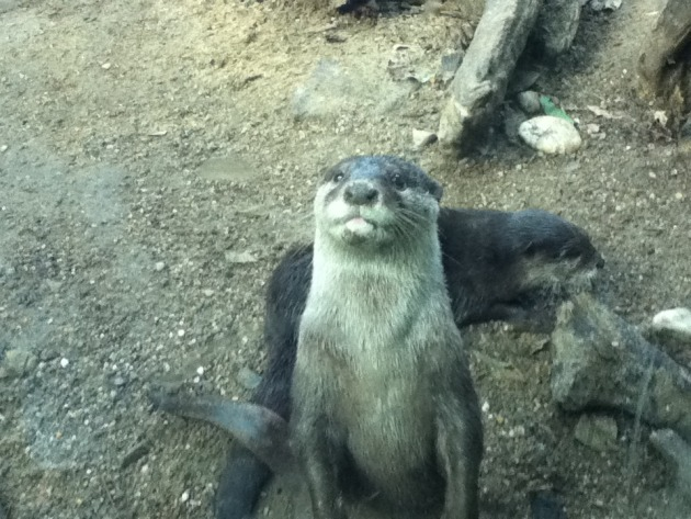 Hungry otters.
