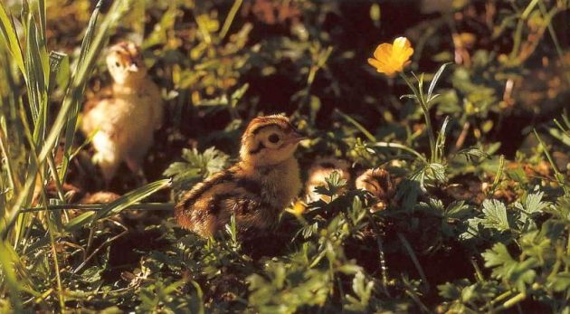 Pheasant Chicks