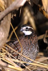 Mr. Mom: A male bobwhite quail