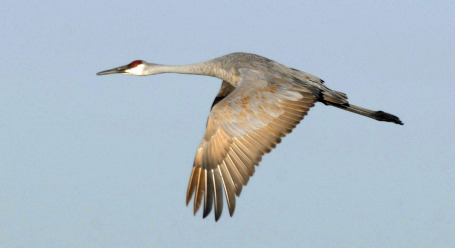 sandhill mature personals The sandhill crane (antigone canadensis the lesser and greater sandhill cranes are quite distinct, their divergence dating to roughly 23–12 million years ago.
