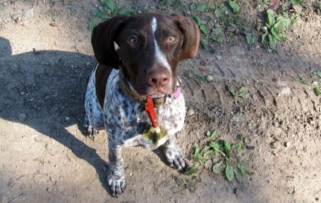 """If your bird dog was the """"Einstein"""" of bird dogs, what special command would you teach?"""