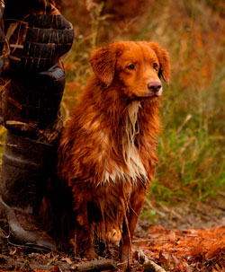 Despite their beauty, I don't know anyone personally that owns a Nova Scotia Duck Tolling Retriever. PHOTO COURTESY OF NATIVE DOG FOOD