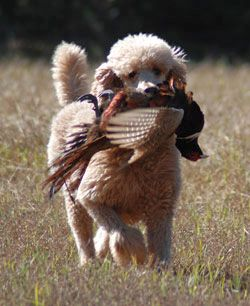 Perhaps you aren't accustomed to a Poodle with a dead rooster in its mouth. photo courtesy of Native Performance Dog Food