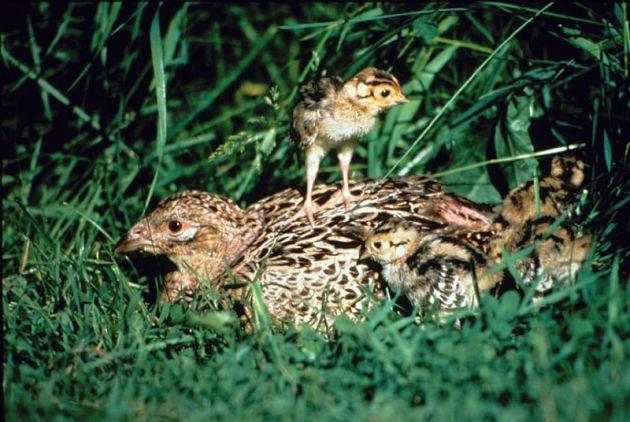 A hen pheasant and her brood
