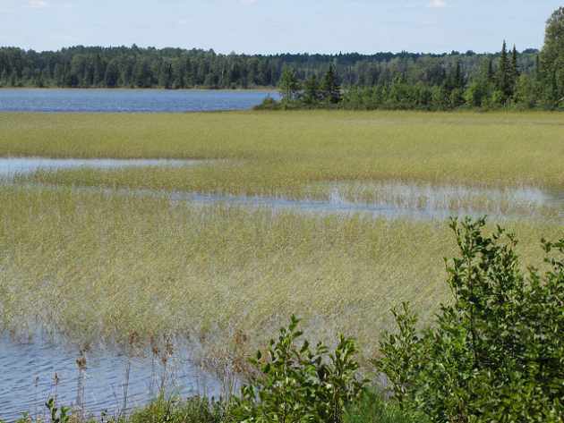Wild rice / U.S. Forest Service, Flickr CC