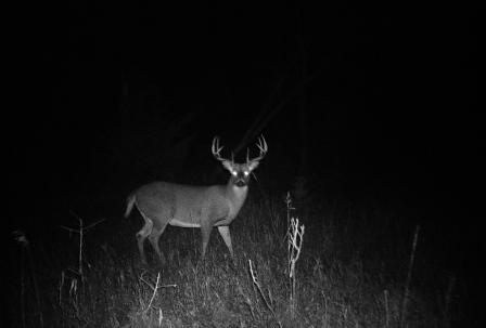 "The ""Big Boy"" shows himself in a trail camera picture taken in fall of 2010."
