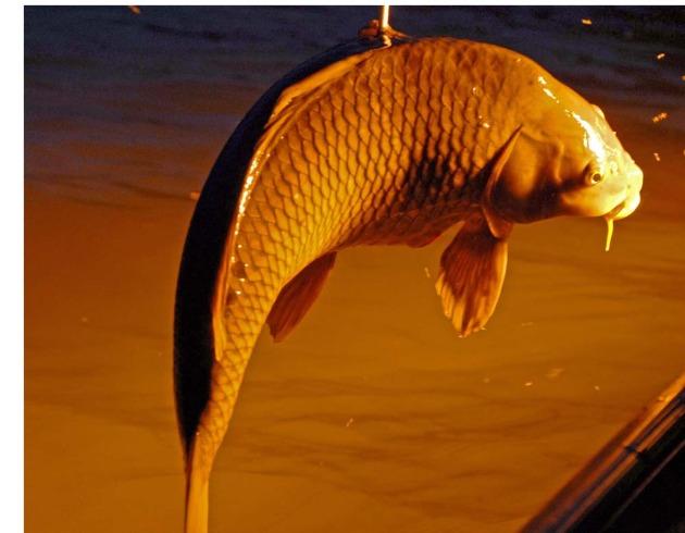 common carp fish. tattoo common carp fish.