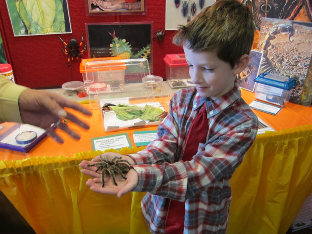 Baxter Heino, 7, of Minneapolis, carefully held a tarantula in his palms. Behind him, a hissing Madagascar cockroach tried to escape from his plastic home. (Seconds before freedom, he was flicked back inside.))