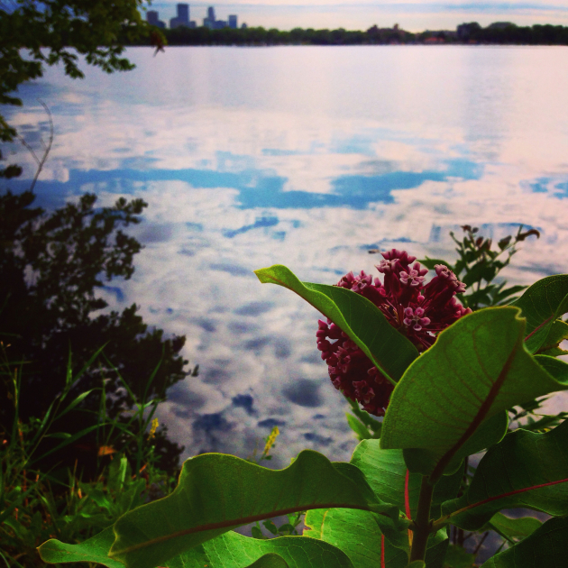 Milkweed growing along Lake Calhoun