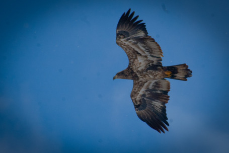 An immature Bald Eagle, photo by hsershen.