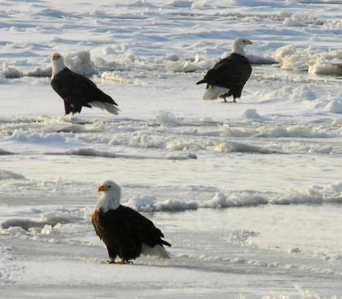 PsBattle: Bald Eagle staring at reflection on ice : photoshopbattles