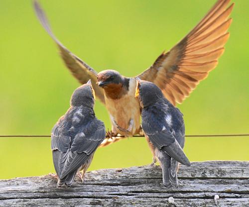 Baby Barn Swallows are birds with an attitude ...