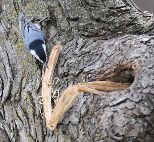 Nuthatch Nest