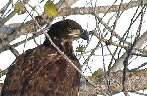 Eagle eye-color indicator of age - StarTribune com