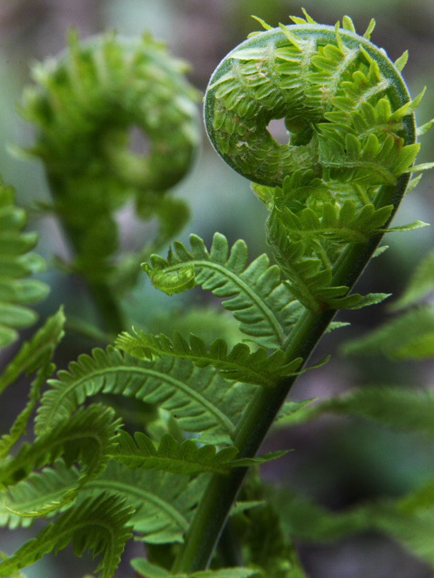 how to grow fiddlehead ferns