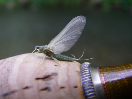 Green Sulphur Mayfly - Rob Kolakowski photo