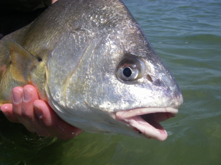 Freshwater Drum or Sheepshead - Rob Kolakowski photo