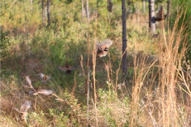 A covey of bobwhite quail flush under the pines of a southern Georgia plantation.