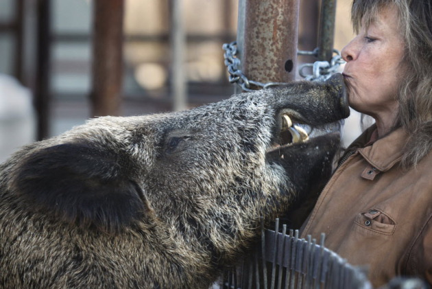 A boar greets the farmer. Photo by Tom Wallace, Star Tribune