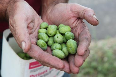 Ripe olives. Photo by Mary Jo Hoffman