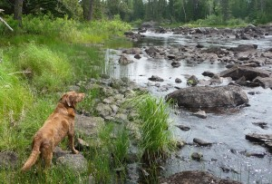 Lexee-dog surveys the rapids of the South Kawishiwi River.