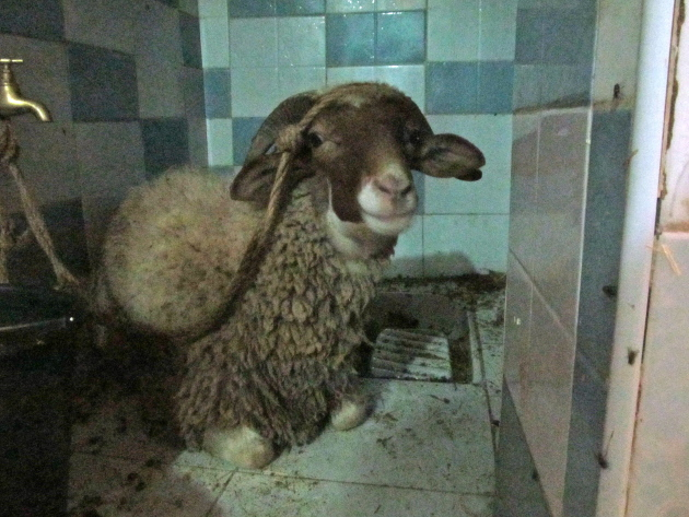 Our new family member in his new spot, conveniently located on the squat toilet adjacent to our kitchen. He's a very well-behaved sheep.