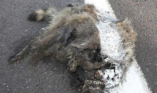 A dead raccoon received a fresh coat of paint from a highway painting crew.  AP Photo