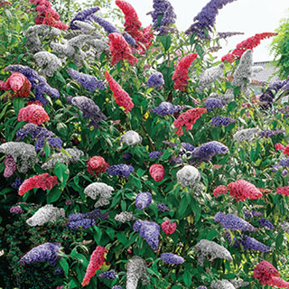 Butterfly magnets for the garden startribune i found a zone 4 variety the stunning buddleia 3 in 1 butterfly bush its a prolific bloomer of lavender white and magenta star like flowers mightylinksfo Images