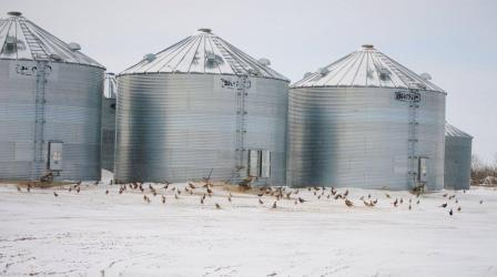 Harsh winter conditions in southwest North Dakota have concentrated pheasants in the only refuges left - groves and farmyards. Photo courtesy of Craig Armstrong.