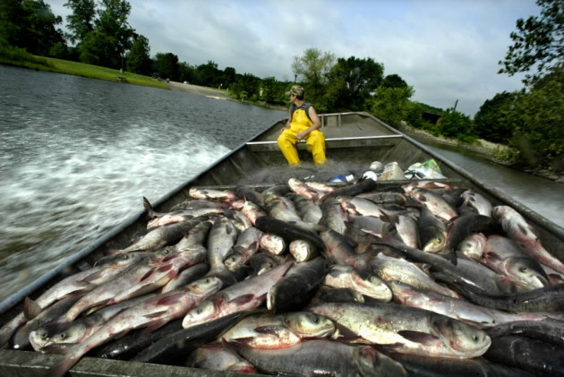 39 leaping dragon fish 39 a world view of asian carp for Illinois river fishing