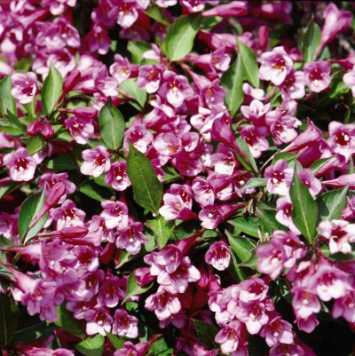Minuet Weigela  from Bailey Nurseries