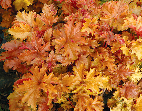 Heuchera Amber Waves from Terra Nova Nurseries is among the many charmingly colored coral bell options.