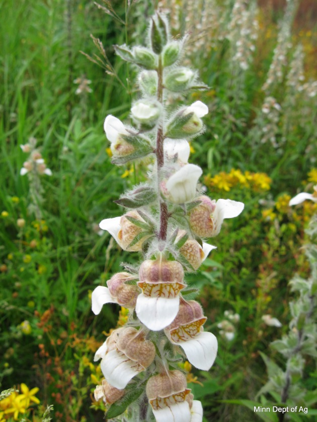 Grecian foxglove in flowering state