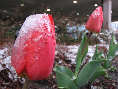 Star Tribune tulips in frost