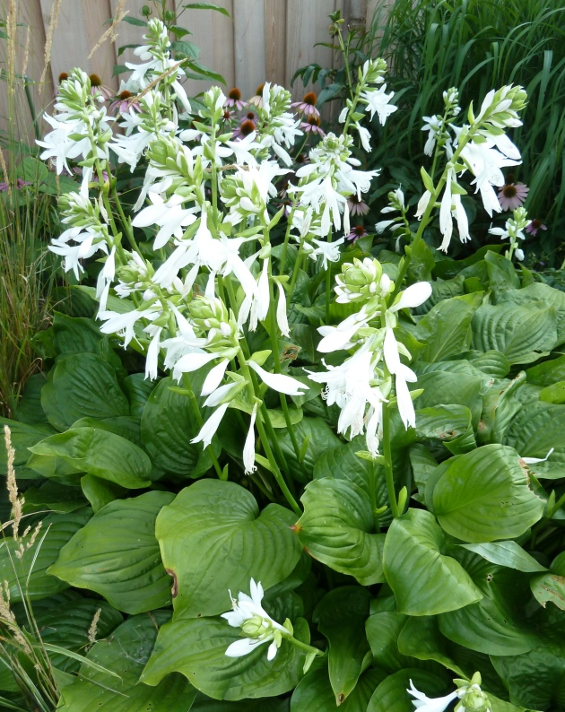The gift of gardening startribune my special hosta is royal standard which throws up sprays of white flowers in august their heady scent reminds me of easter lilies mightylinksfo