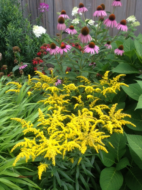 Planting Goldenrod In The Garden: Goldenrod, Friend To The Garden And Gardener
