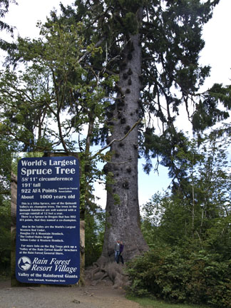 The world's largest spruce tree is found in Olympic National Park - 58 feet and 11 inches around and 191 feet hight!