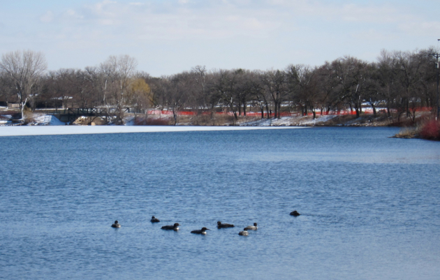 Loons on Lake Phalen.