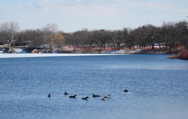 Loons on Lake Phalen.