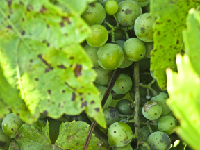 There are 6.5 acres of commercial vines at Crofut Winer