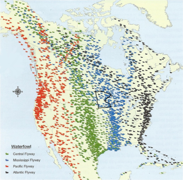 Waterfowl Migration Map Millions of migrant birds come to Minnesota via Mississippi flyway  Waterfowl Migration Map