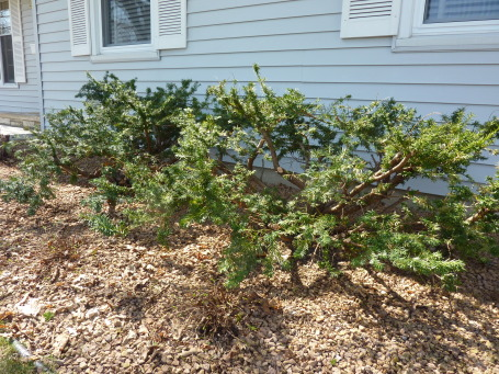 How To Prune Yew Garden Design Ideas